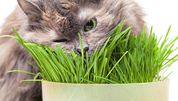 Indoor cat eating cat grass from a pot