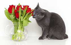 Cat eating potentially toxic roses