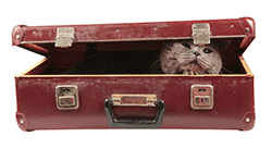 Cat looking out from a suitcase