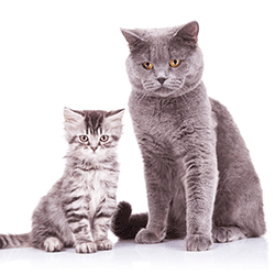 Adult pedigree and moggy kitten