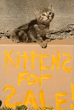 Kitten on top of cardboard box with 'kittens for sale' sign